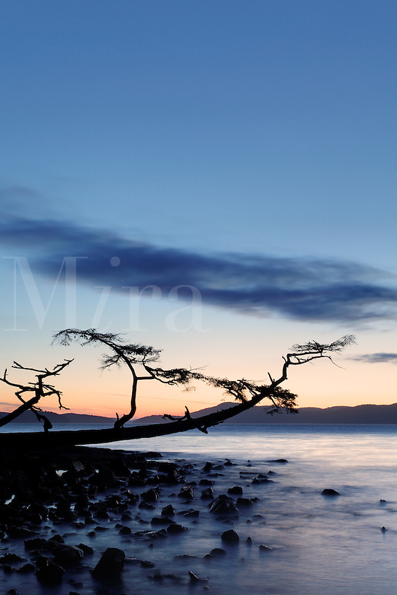 Shoreline tree leaning out over water and rocks at sunset, Washington Park, Fidalgo Island, Skagit County, Washington, USA
