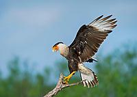 Northern Crested Caracara, Caracara cheriway, Texas, USA