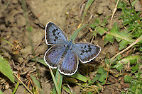 Large Blue - Maculinea arion - female