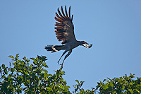 Madagascar harrier hawk taking off from tree top