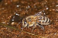 Honigbiene, Honigbienen trinken Wasser an einer Wasserstelle, Honig-Biene, Biene, Apis mellifera, Apis mellifica, honey bee, hive bee