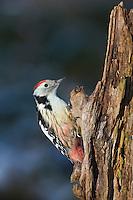 Mittelspecht, sucht an morschem Baumstamm nach Nahrung, Mittel-Specht, Specht, Leiopicus medius, Dendrocopos medius, Picoides medius, middle spotted woodpecker, Le Pic mar