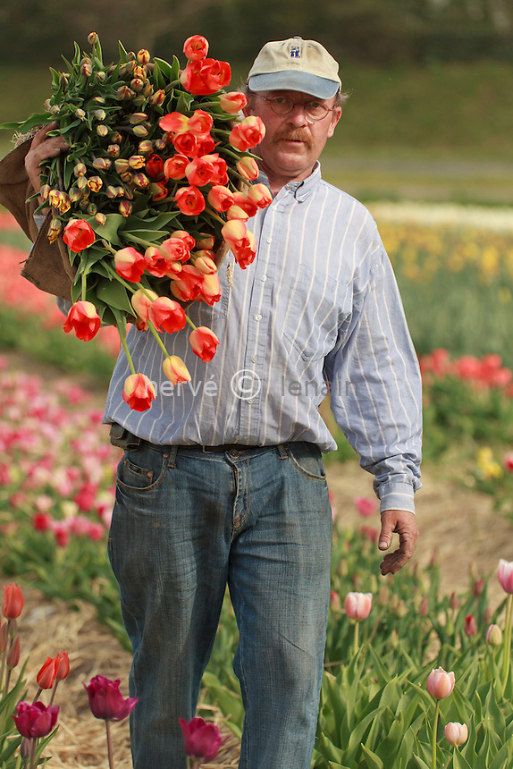 "Hollande, région des champs de fleurs, Lisse, Hans Beelen, producteur, récolte ses tulipes pour la vente directe aux particuliers (model release OK) // Holland, ""Dune and Bulb Region"" in April, Lisse,  Hans Beelen, producer, harvest of tulips for direct sales to individuals (model release OK)."
