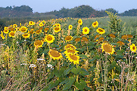 Helianthus sunflowers, amaranthus and quinoa crops. Sunflowers are a good cover crop.
