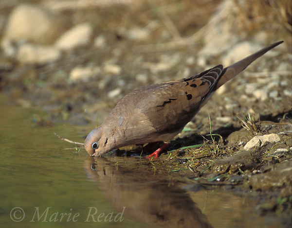 Mourning Dove (Zenaida macroura) drinking at the edge of a pond, Ithaca, New York, USA.<br />