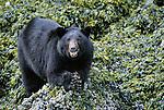 Black bear eats mussels along the shore, Glacier Bay National Park and Preserve, Alaska, USA
