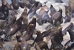 California sea lions, California