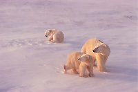 polar bears, Ursus maritimus, mother and cubs with driven snow in their coats and building up on their faces, Hudson Bay, Cape Churchill, Manitoba, Canada, polar bear, Ursus maritimus