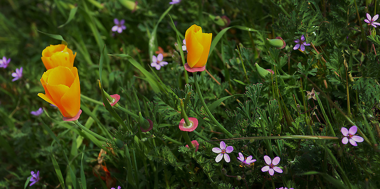 Poppies and erodium - Mt. Diablo State Park