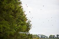 03536-05804 Monarch Butterflies (Danus plexippus) leaving roost in Eastern Red Cedar (Juniperus virginiana)  Prairie Ridge State Natural Area, Marion Co., IL
