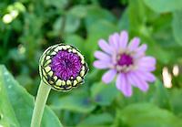 Zinna bud, Asteraceae Zinnia, in flower garden, Yarmouth ME