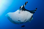 San Benedicto Island, Revillagigedos Islands, Mexico; a chevron manta ray swimming in blue water with the sun overhead