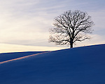oak tree on hill, Howard County, Iowa