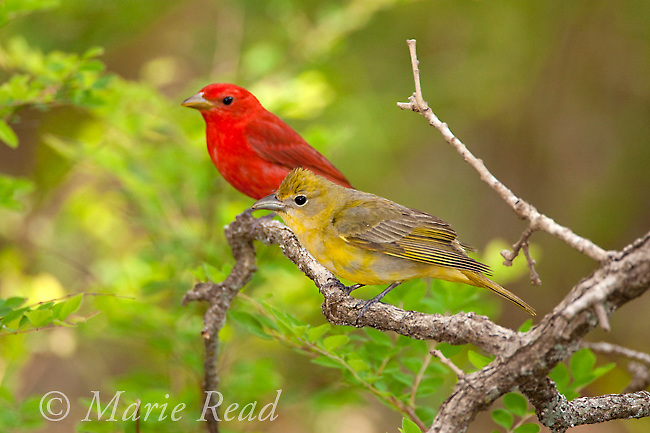 Summer Tanager (Piranga rubra) male and female, Wichita Mountains National Wildlife Refuge, Oklahoma, USA<br /> Nature Picture Library
