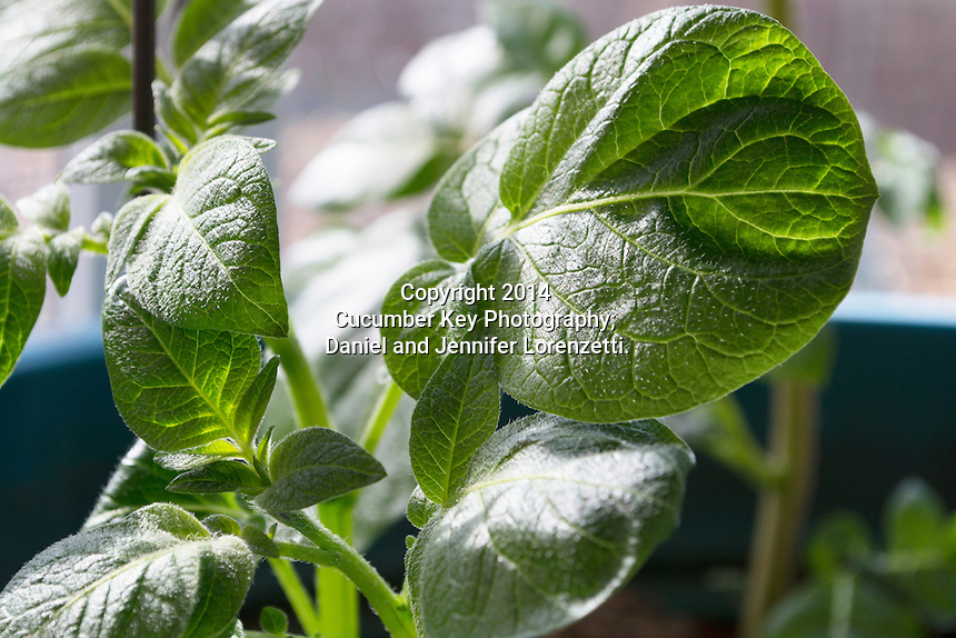 Potato leaves showing the characteristic shape of some varieties, as well as the downy softness of the leaves.