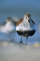 Dunlin, walking on the beach.  Fortesque, New Jersey