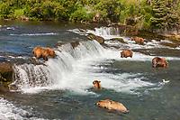 Brown bears congregate in large numbers on the Brooks River to fish for red salmon, Katmai National Park, southwest, Alaska.