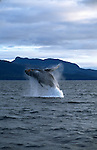 A humpback whale breaches the water in the Frederick Sound in Alaska.