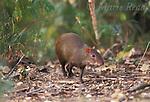 Central American Agouti (Dasyprocta punctata), adult, Gamboa, Panama<br /> Slide # M15-04