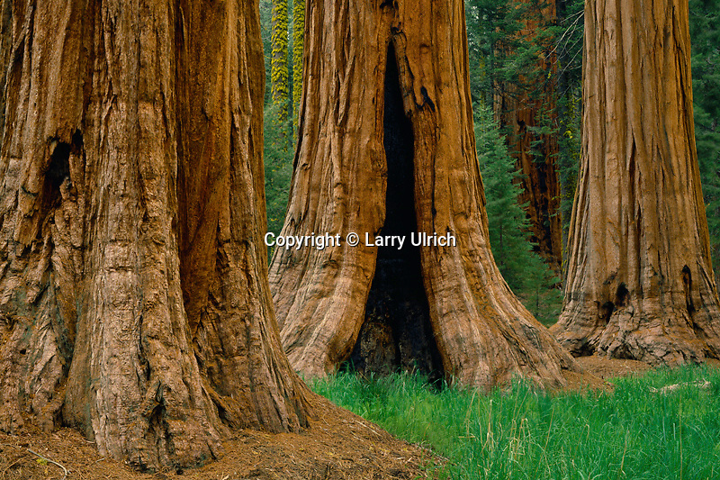 Giant sequoias<br />