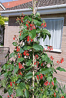Scarlet runner bean Phaseolus coccineus climbing vine  house, trellis pole