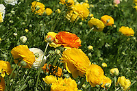 Ranunculus field with yellow, orange, and white blossoms