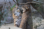 Male bobcats play at the Living Desert,  captive
