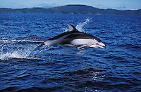 nb56. Pacific White-sided Dolphin (Lagenorhynchus obliquidens) leaping. British Columbia, Canada, Pacific Ocean..Photo Copyright © Brandon Cole.  All rights reserved worldwide.  www.brandoncole.com..This photo is NOT free. It is NOT in the public domain...Rights to reproduction of photograph granted only upon payment of invoice in full.  Any use whatsoever prior to such payment will be considered an infringement of copyright...Brandon Cole.Marine Photography.http://www.brandoncole.com.email: brandoncole@msn.com.4917 N. Boeing Rd..Spokane Valley, WA 99206   USA..tel: 509-535-3489