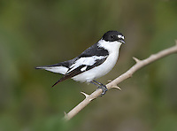 Semi-collared Flycatcher - Ficedula semitorquata