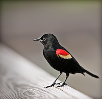 Male Red-Winged Blackbird perched on wood railing-very shallow depth of field