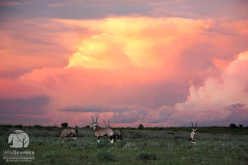 Gemsboks in Kalahari landscape with spectacular clouds