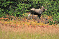 A  young cow moose during the fall rut in Chugach State Park.