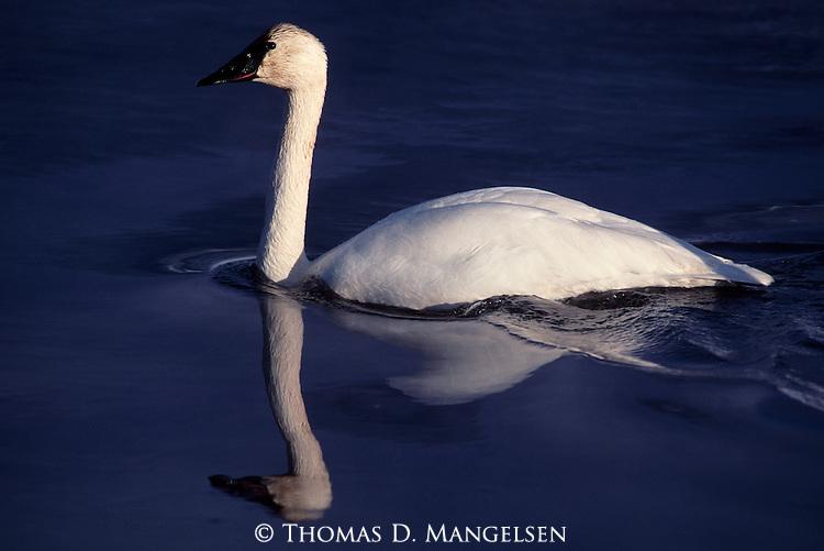 Trumpeter swan swimming