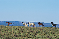 Wild Horses, Sheldon National Wildlife Refuge, Nevada.  June..(Equus caballus)