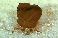 Spitze Sumpfdeckelschnecke, Spitze Sumpfdeckel-Schnecke, Viviparus contectus, Paludina contecta, Paludina viviparus, Lister's river snail, La paludine commune, Sumpfdeckelschnecken, Viviparidae