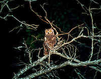 Spotted Eagle Owl at night, MalaMala Game Reserve, Transvaal, South Africa