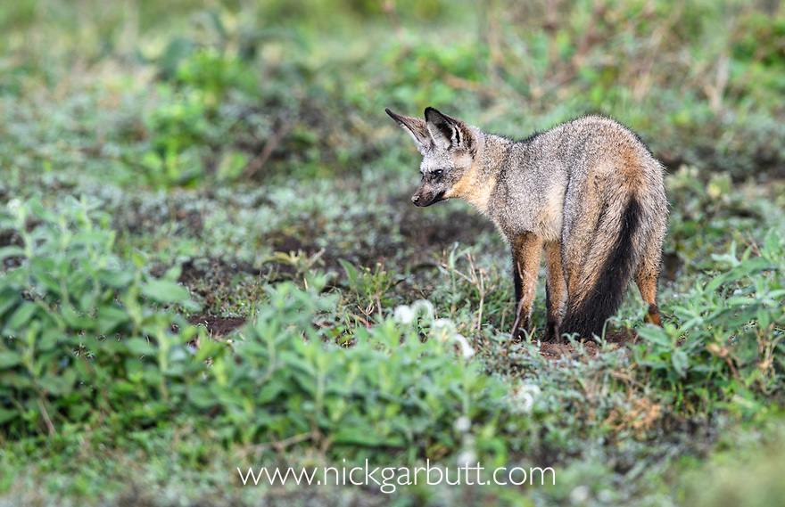 Adult bat-eared fox (Otocyon megalotis) foraging close to its den / burrow. Short grass plains near Ndutu, Ngorongoro Conservation Area / Serengeti Tanzania.