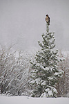red-tailed hawk, Buteo jamaicensis, perched atop small evergreen, snowy day, May, Rocky Mountain National Park, Colorado, USA