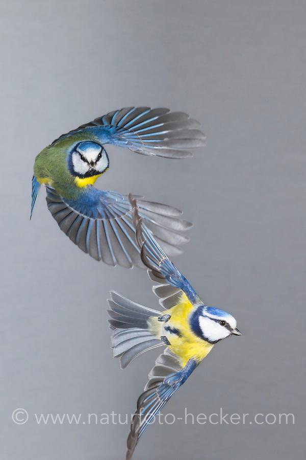 Blaumeise, Blaumeisen im Flug, Flugbild, fliegend, Blau-Meise, Meise, Meisen, Cyanistes caeruleus, Parus caeruleus, blue tit, flight, flying, La Mésange bleue