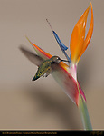 Anna's Hummingbird Female, Feeding on Bird of Paradise in Hovering Flight, Southern California