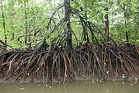 Mangroves, Mentawai Islands, Indonesia
