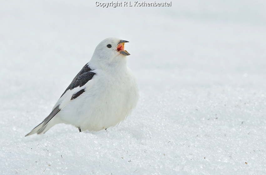 Adult male snow bunting singing from a snow bank on the Alaskan tundra.<br />