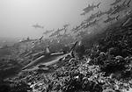 Schooling Grey Reef sharks, Carcharhinus amblyrhynchos, Apataki Atoll, Tuamotus, French Polynesia, Pacific Ocean