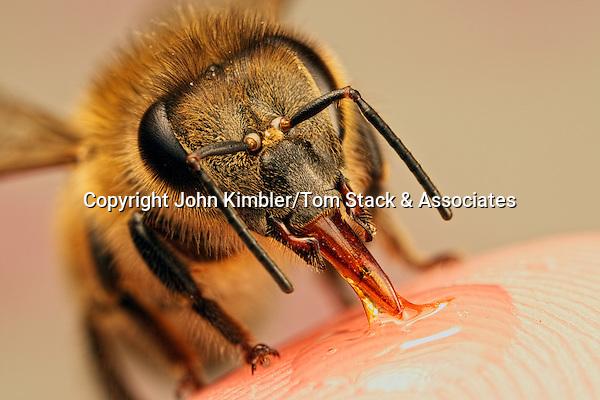 Bee proboscis