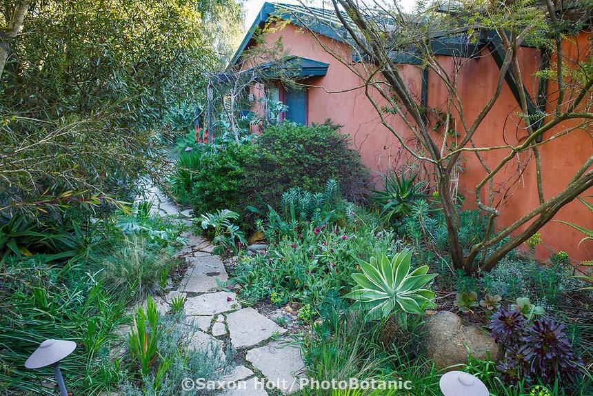 Stepping stone entry path, Nan Sterman Garden with variegated Agave attenuata with Arctotis, Aeonium 'Zwartkopf', Euphorbia rigida, Baekea virgata overhead, Brachychiton rupestris to the left