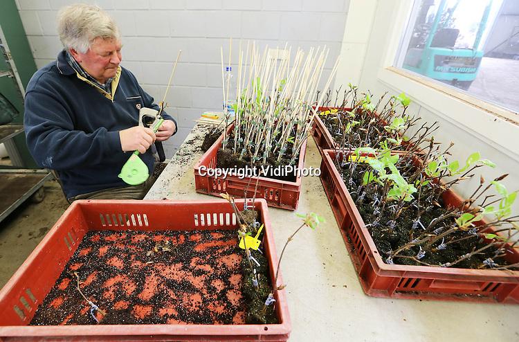 Foto: VidiPhoto..DODEWAARD - Bij Batouwe Boomkwekerijen in Dodewaard worden woensdag de jonge enten en stekjes van laanbomen in potten gezet en buiten neergezet. In het voorjaar gaat al het materiaal uit de kassen. Tenminste... als het niet meer vriest. Ruim 100.000 stuks jong materiaal -plantmateriaal voor boomkwekers- wordt de komende weken met de hand verwerkt naar buiten gebracht. Vanaf september kan er dan geleverd worden. Foto: De oudste werknemer..