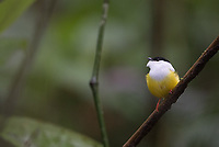 One of the highlights of this trip was witnessing the courting dance of the White-crowned manakin, as it bounced rapidly back and forth from branch to branch.
