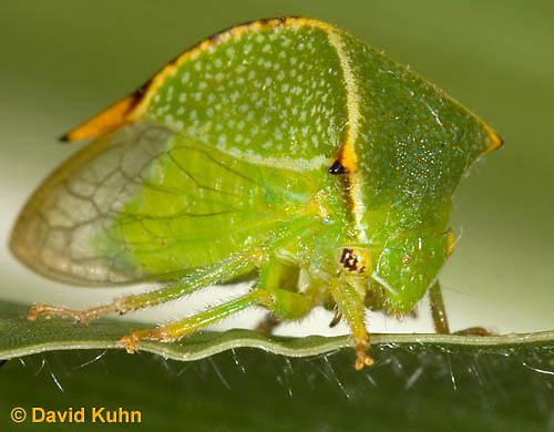 1109-0816  Buffalo Treehopper, Ceresa alta © David Kuhn/Dwight Kuhn Photography.