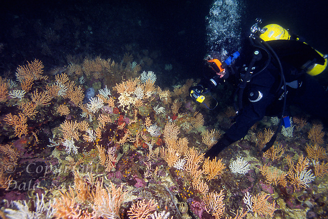 Underwater Photographer in garden of Gorgonian Coral (Calcigorgia spicculiffera) in Queen Charlotte Strait off northern Vancouver Island, British Columbia, Canada.
