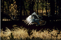 Great gray owl flying thru forest recently burned by forest fire.